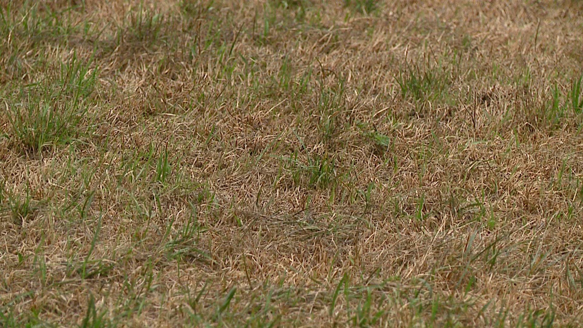 droughtgrass