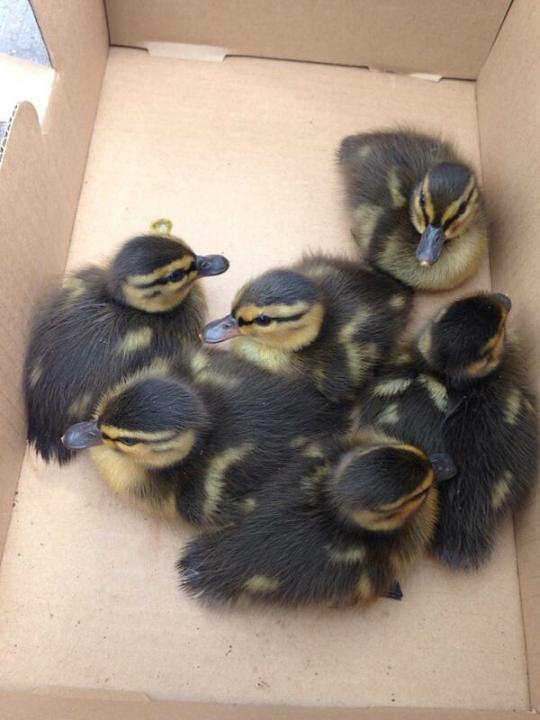 Duckies2
