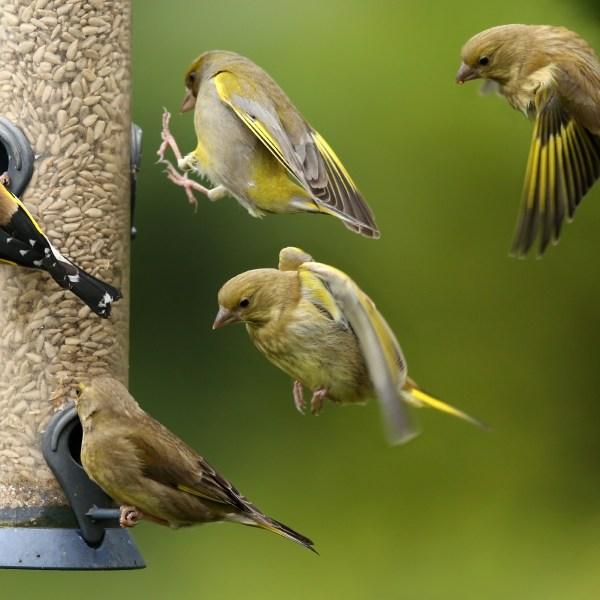 Indiana sick songbirds