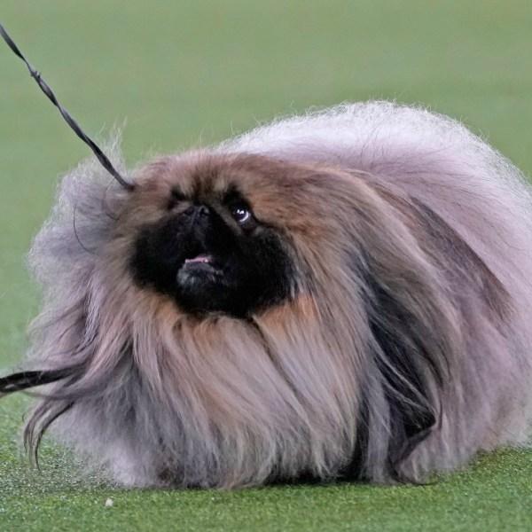 Westminster dog show winner