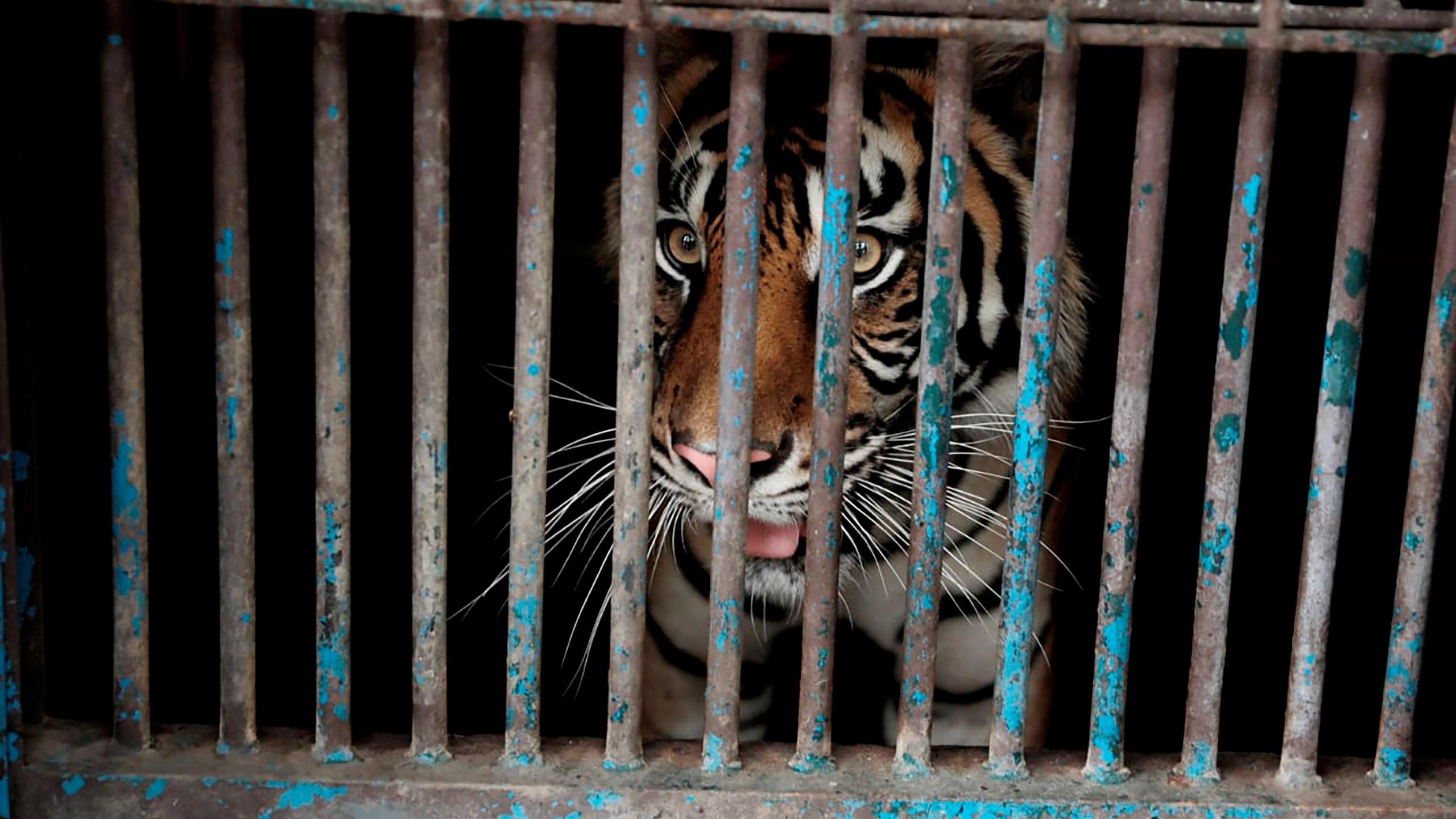 Sumatran tigers