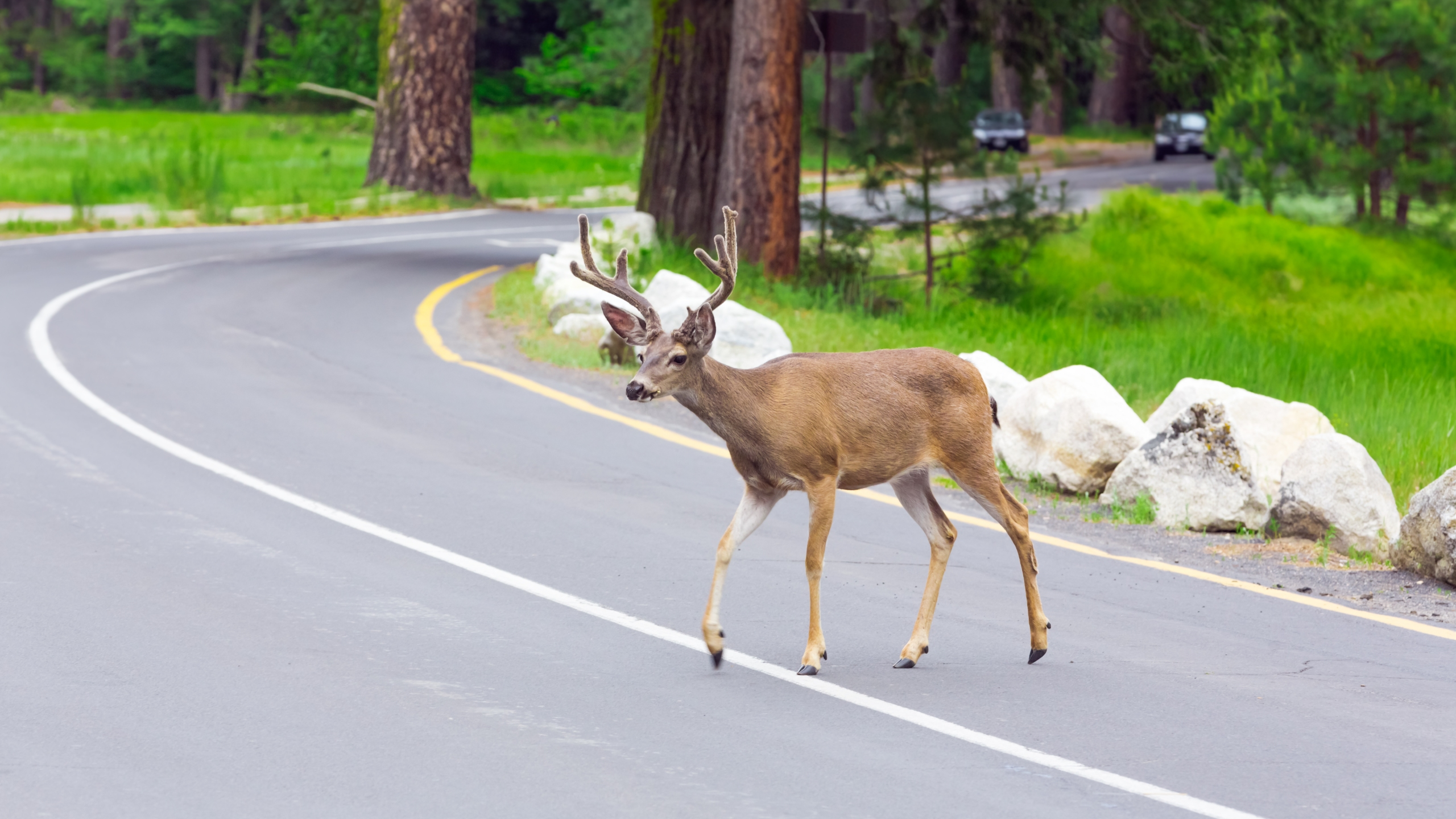 Deer on Indiana roads