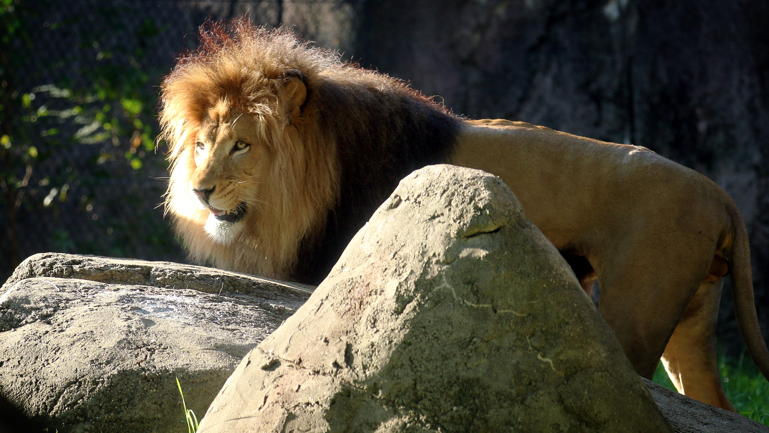 Zoo Lion COVID