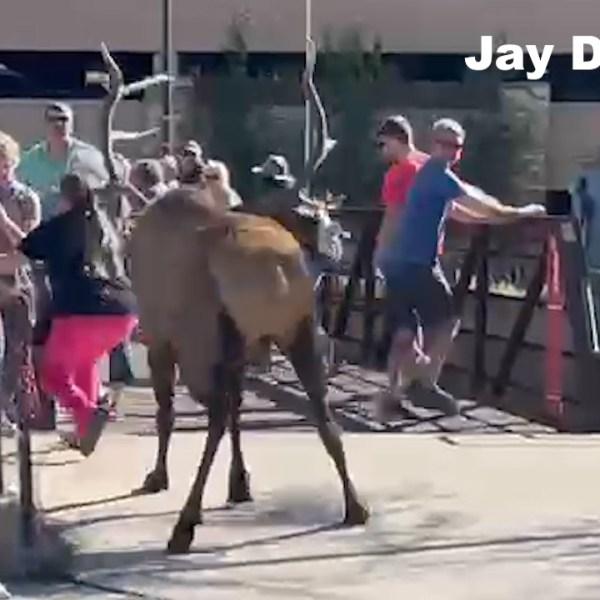 Elk charges in Colorado